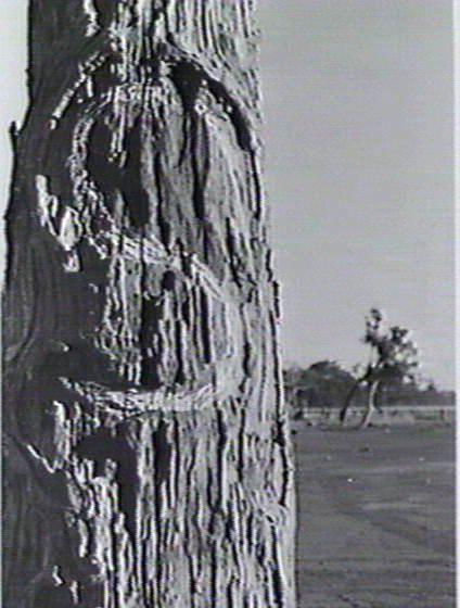 Tree marked by J. McDouall Stuart