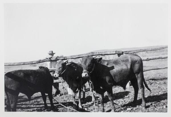 Braham-shorthorn cross bulls