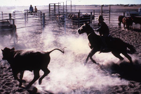 A horse rider chasing a bullock