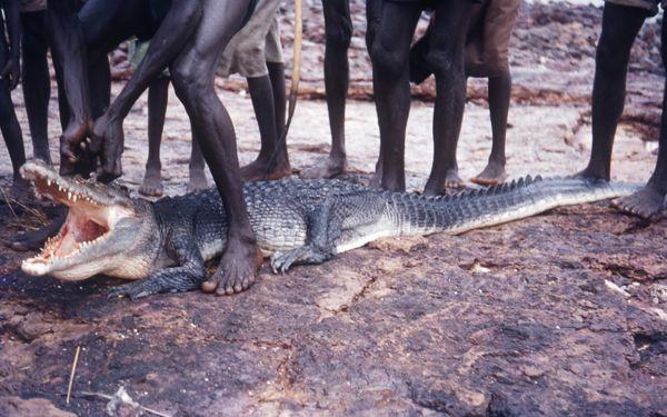 Speared crocodile